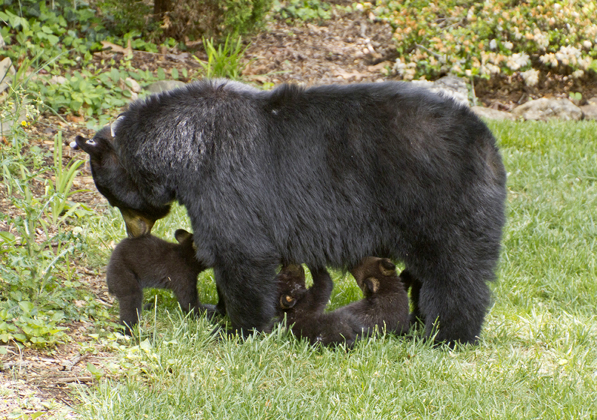 A mama black bear stands on a neighborhood lawn and nurses her three small, hungry cubs on a sunny spring day
